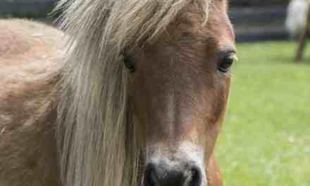Fed pony. Hvordan får jeg slanket den?