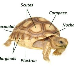 Turtle Shell Anatomy Diagram How To Read Auto Wiring Diagrams Infomation And Facts | Horsefield Tortoise