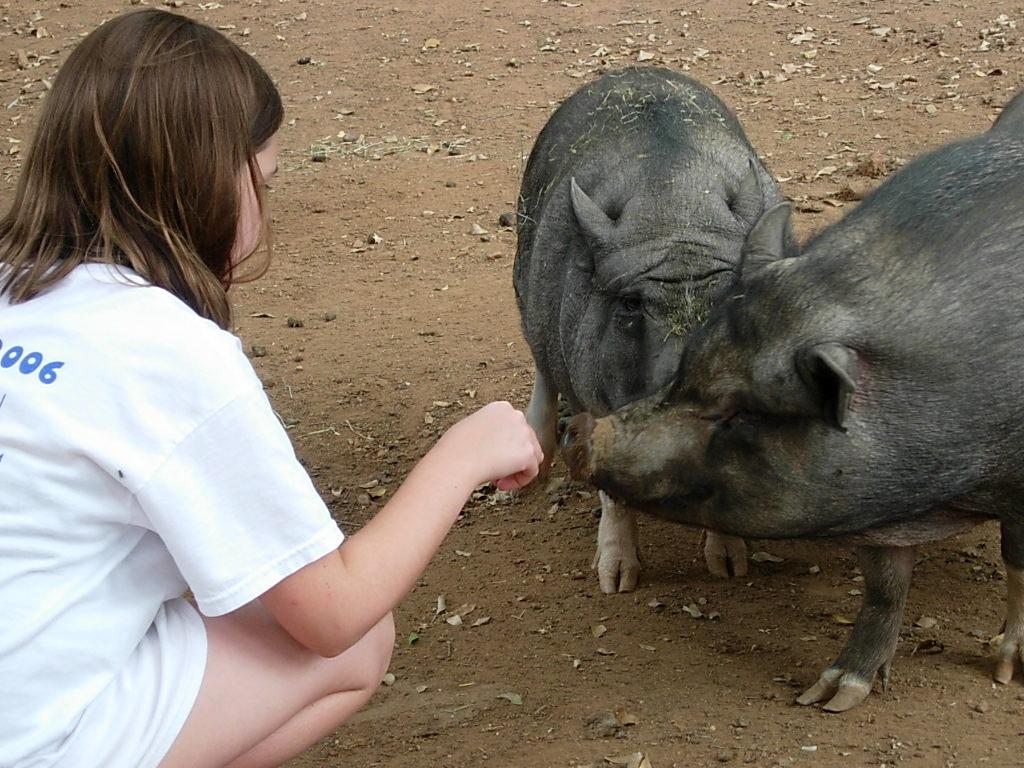 Pot-bellied pigs and Jessie (age 9)