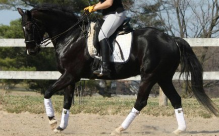 Good use of back for this particular horse. Note the deep-stepping inside hind leg, the weight slightly shifted back, the light front end, the calm, confident expression.