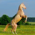 Akhal Teke Revealing The Worlds Most Beautiful Horse Breed