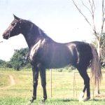 What Are Malabar Arabian Horses East West Equestrian Arts