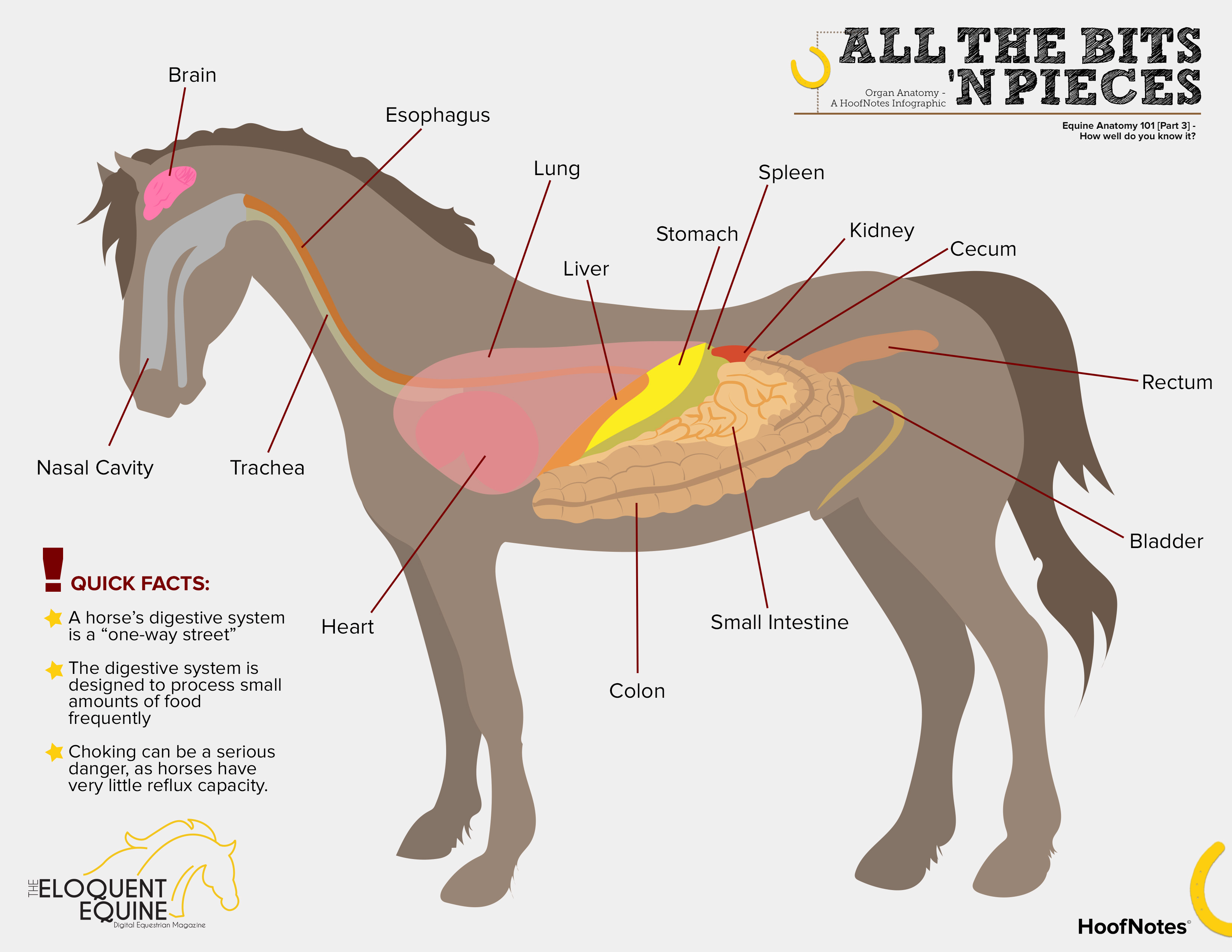 Just The Basics About A Horse Digestive System