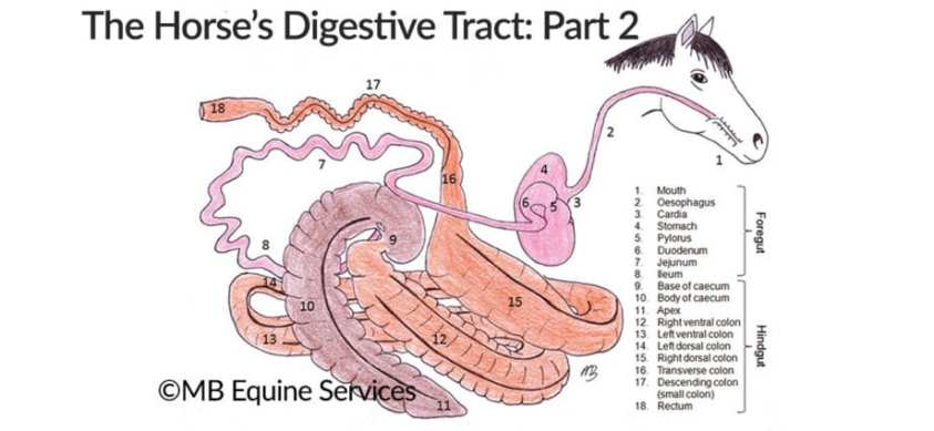 Anatomy of the Horse's Digestive Tract, Part 2: The Small ...