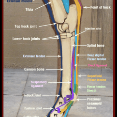 Leg Muscles And Ligaments Diagram Tekonsha Voyager Specs Proximal Suspensory Ligament Injury, Hind Limb - Horse Side Vet Guide