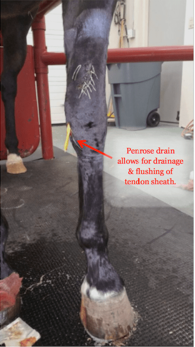 Infection of Extensor Tendon Sheath  Horse Side Vet Guide