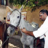 Brooke veterinarian treats a malnourished horse who works in tourism in the Middle East