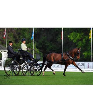 Morgan Seeking Top Finish at the 2015 FEI World Driving Championships for Ponies
