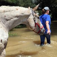 Laura Riggs, BS, DVM, Ph.D., from LSU SVM rescues a horse from flood waters. Photo: LSU SVM
