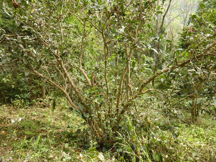 Old tea tree around Wan Gong