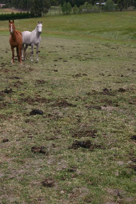 Dung should be routinely collected every two or three days and composted. © Horsetalk.co.nz
