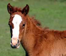 Research explores vaccine options for foals
