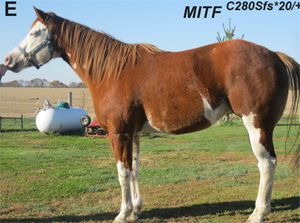 Quarter Horse with the rare MITFC280Sfs*20 allele.