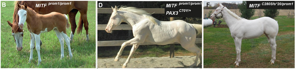 (B): This Quarter Horse is also homozygous for the MITFprom1 allele, but has substantially more residual pigmentation than the horse shown in panel A. (D) A completely white horse with multiple splashed white alleles. (F) A compound heterozygote for two different MITF mutant alleles is completely white. None of the horses in this figure carry the EDNRBI118K (overo) allele.