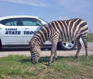 State trooper helps with zebra