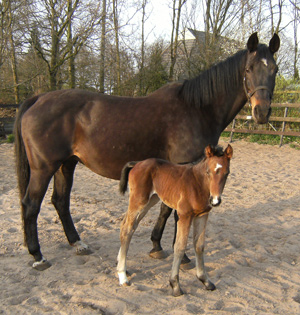 Huan Twang, ET-Cryozootech's first foal born in The Netherlands.