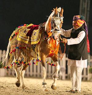 One of the Marwari Horses in rehearsal for Windsor.