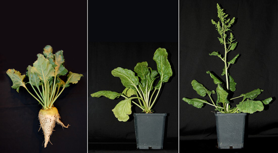 Sugar beet (left), regular sugar beet plant (middle) and bolting sugar beet plant (right).