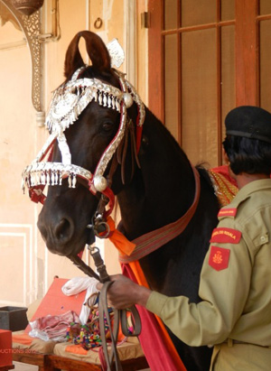 A Marwari Horse at during filming at Dundlod Fort Heritage Hotel.