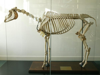 Eclipse's skeleton is now on display at the Royal Veterinary College, near Hatfield. (Credit: Copyright Royal Veterinary College 2006)