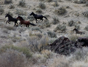 A young foal tries to keep up with its mother as its herd is rounded up.