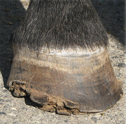 Distal hoof wall lesions, characteristic of the disease.