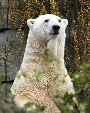 Lars the polar bear survived the illness that killed his companion, Jerka, at Wuppertal Zoo.