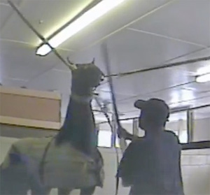 A horse being hit, from the undercover video above.