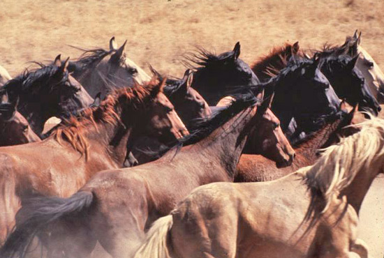 Wild horses in the Owyhee management area.