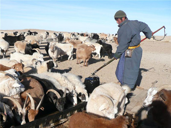 Mongolian herder drawing water from a well to water his goats.