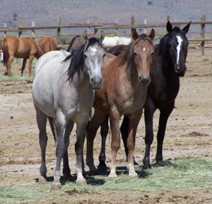 Three young mares captured in a roundup in the Twin Peaks area in 2010.