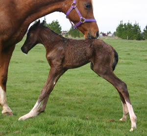 foal-weight