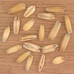 Oat grains in their husks.