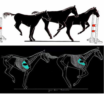 The middle of a bounce; an energetic horse takes off with the forelegs before the hind legs touch the ground. This work is executed by the most powerful extrinsic thoracic limbs muscles.
