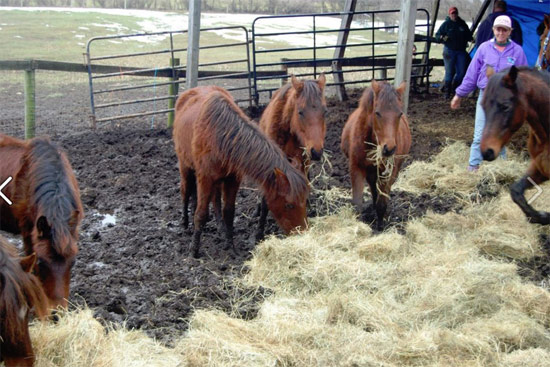 The crew assembled to remove the horses put down hay to absorb the muck and encourage the horses to come off the manure pile that had built up over time.