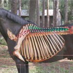 Simplistic representations illustrate the longissimus system as a long and thick bungee cord stretching from the sacrum to the fourth cervical vertebra. Based on such schematic illustration simplistic thoughts deducted that the lowering of the neck elongated the horse's whole top line.