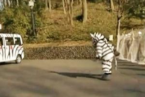 zebra-feat