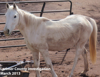 One of the 20 horses seized by the Larimer County Sheriff's Office and Bureau of Animal Protection.