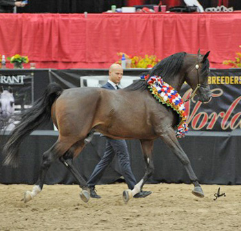 3.Supreme Champion Senior Stallion: *Pogrom bred and owned by Janow Podlaski State Stud and on lease to David and Terry Anne Boggs and Jeff and Andrea Sloan