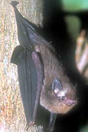 A microbat: Pacific Sheath-Tailed Bat (Emballonura semicaudata).