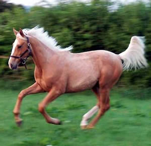 The Gold Fox is Britain's first palomino thoroughbred.