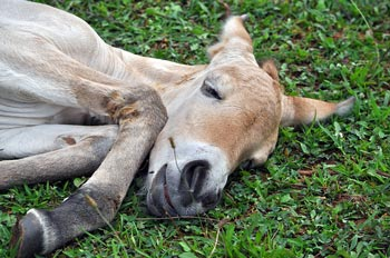 The newborn takes a well-deserved rest. First-time mother Anne with her newborn filly. Scientists are celebrating the arrival of the first Przewalski's foal conceived through artificial insemination. Photo: Dolores Reed, Smithsonian Conservation Biology Institute