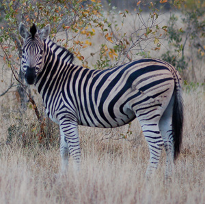 Worrying numbers of zebra are illegally being slaughtered for meat.  © Lewis Photography