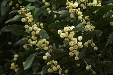 Acacia melanoxylon, commonly known as the Australian Blackwood. Photo: Wikipedia/Eric SF