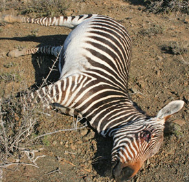 An endangered Cape Zebra stallion, who was shot through a park fence in 2010.