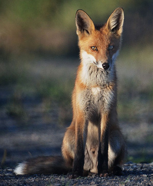 """Your fur is red, so beautiful"": a red fox, pictured in Sweden."