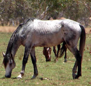 Wild horses graze at Lake Gregory.