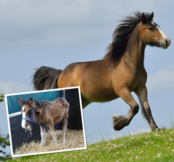 Little Teddy, rescued a year ago, inset, is now on top of the world. Photos: The Horse Trust