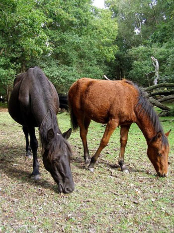 Ponies eating acorns in the New Forest.