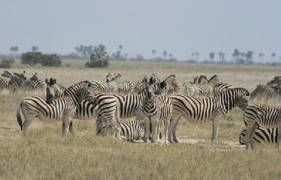 Zebra in the Makgadikgadi region of northern Botswana. Photo: Makgadikgadi Zebra Migration Research project